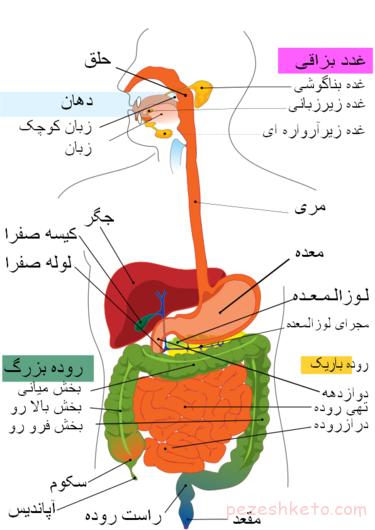 آناتومی دستگاه گوارش انسان