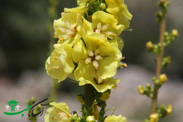 تمام خواص گل ماهور در طب سنتی